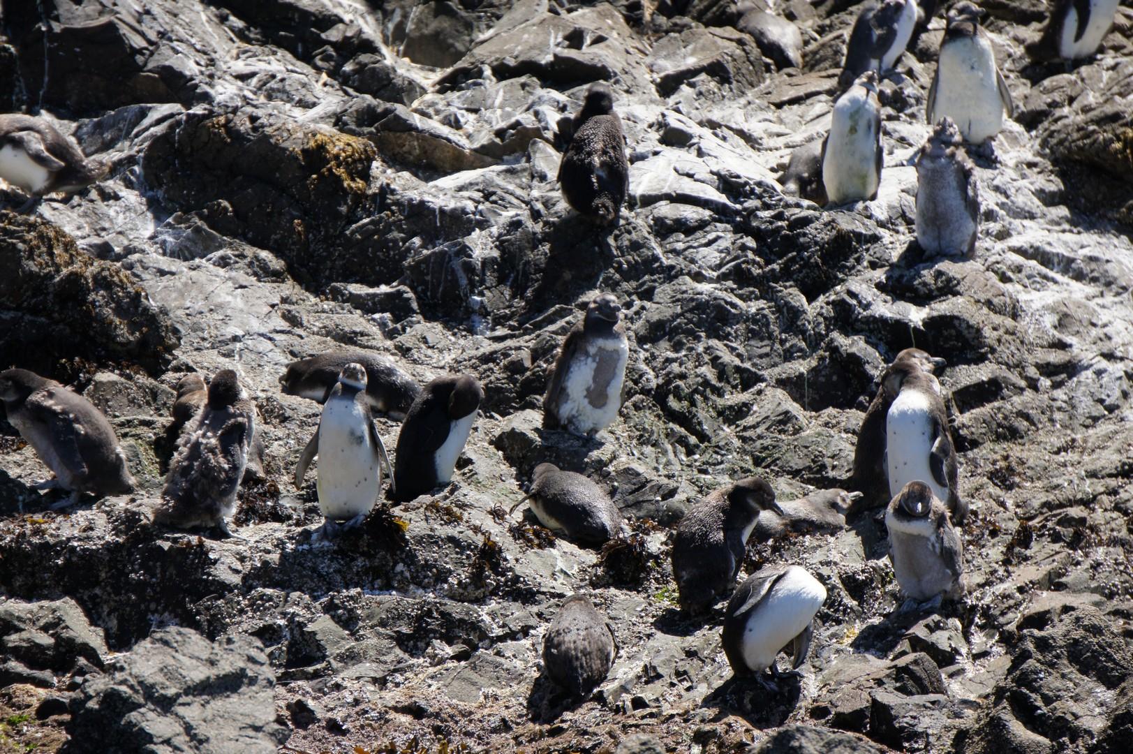 Insel Chileo - Pinguine