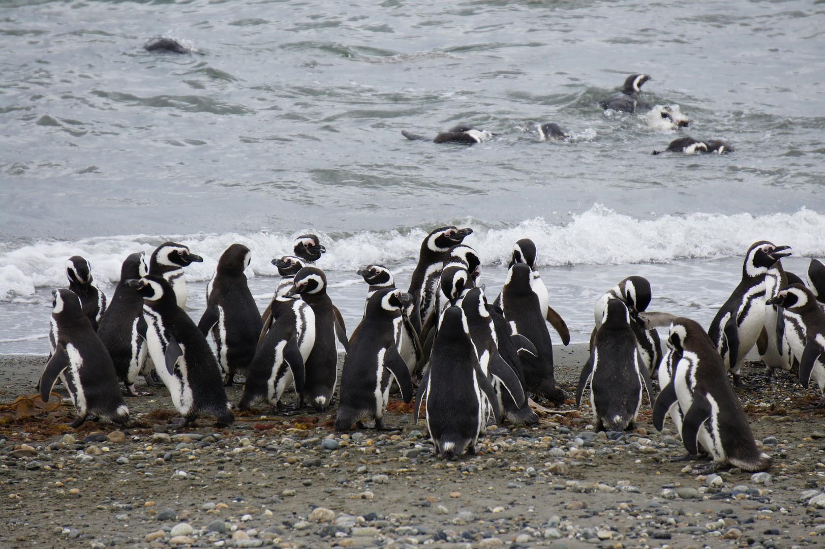 ... noch mehr Pinguine