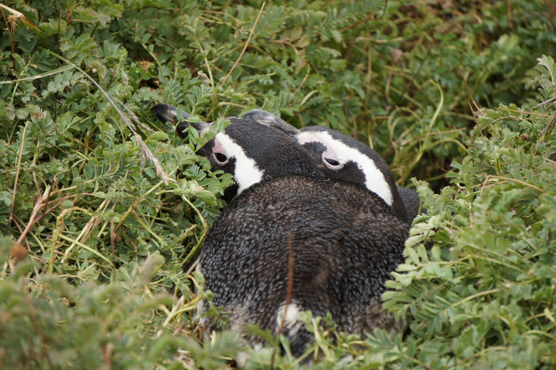 Pinguine im Gras